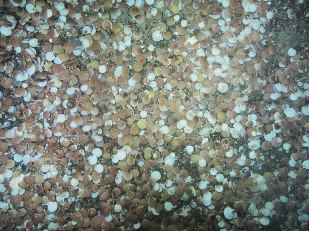 Scallops on the sea floor.