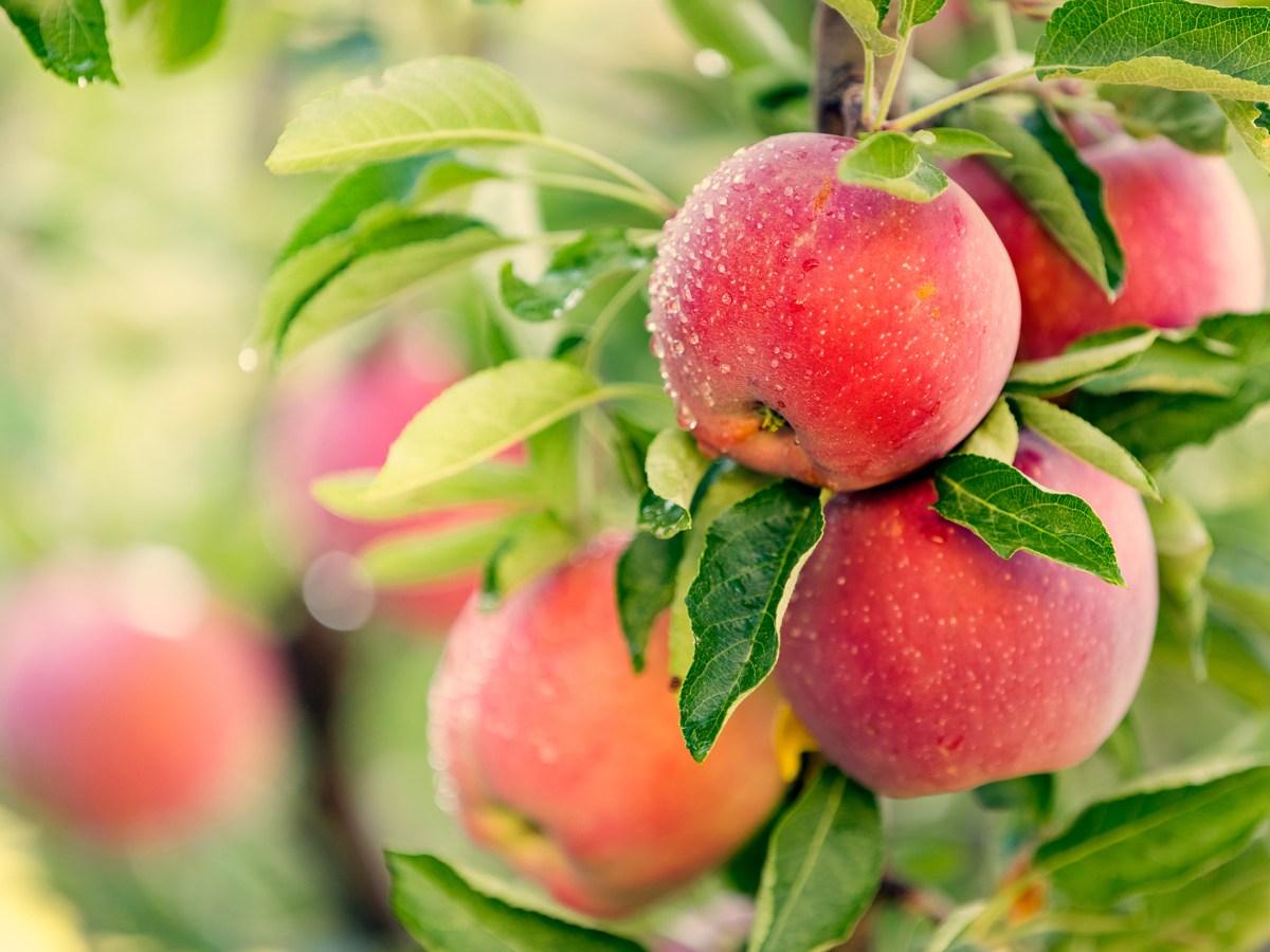Orchard.